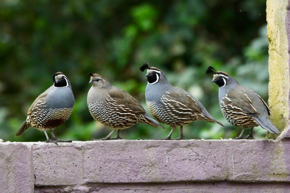 California quail by malfet